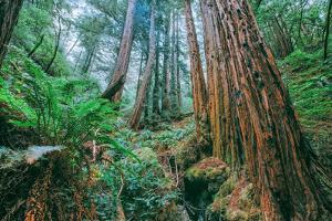 Tree World John Muir Woods, California Coast Marin California by Vincent James