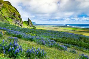Vik 3pm, Summer Wildflowers on the Coast of Southern Iceland by Vincent James