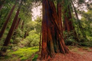 Welcome to Muir Woods 4 by Vincent James