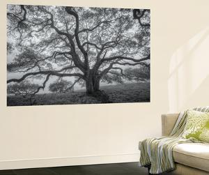 Wild Oak Tree in Black and White, Petaluma, California by Vincent James