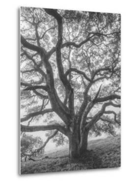 Wild Oak Tree in Black and White Portait, Petaluma, California by Vincent James