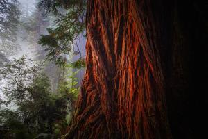 Within The Awesome and Mighty Redwoods, Detail Redwood National Park by Vincent James