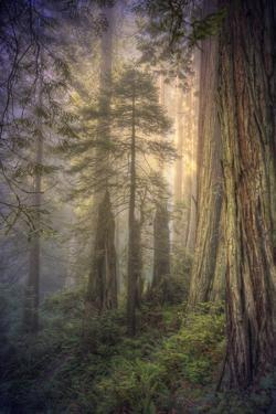 Within the Del Norte Coast Redwoods California by Vincent James