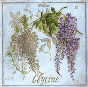 Glycine by Vincent Jeannerot