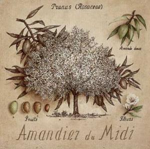 Amandier du Midi by Vincent Perriol