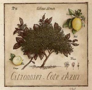 Citronnier, Cote d'Azur by Vincent Perriol