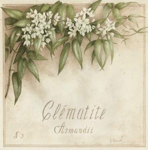 Clematite, Armandii by Vincent Perriol