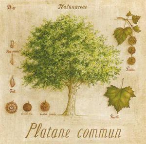 Platane Commun by Vincent Perriol