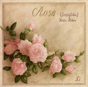 Rosa Centifolia by Vincent Perriol