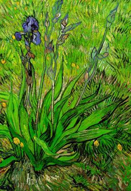 Vincent Van Gogh The Iris Art Print Poster