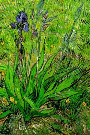 Vincent Van Gogh Irises 1889 Vintage Print