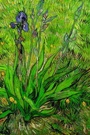 Vincent van Gogh The Iris by Vincent van Gogh