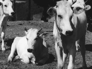 Calves by Vincenzo Balocchi
