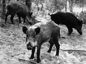 Wild Boar in Bolgheri by Vincenzo Balocchi