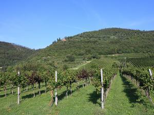 Vineyard, Vincenza, Veneto, Italy, Europe by Vincenzo Lombardo
