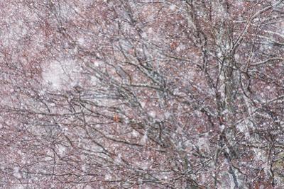 Italy, Abruzzo, Snowflakes Swirling around Almost Bare Trees, Campo Imperatore Area. by Vincenzo Mazza