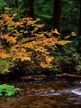 Vine Maple leaves (Acer circinatum) along Salt Creek, Willamette National Forest, Lane County, O...