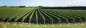 Vineyard along Korokipo Road, Hastings District, Hawke's Bay Region, North Island, New Zealand
