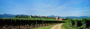Vineyard, Alsace, France