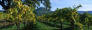 Vineyard at Chateau St. Jean Winery, Kenwood, Sonoma County, California, USA