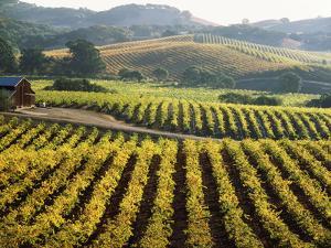 Vineyard at Domaine Carneros Winery, Sonoma Valley, California, USA