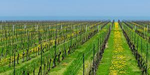 Vineyard in Niagara on the lake in Ontario, Canada