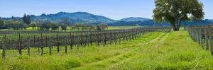 Vineyard in Sonoma Valley, California, USA
