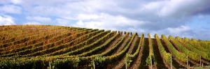 Vineyard, Napa Valley, California, USA