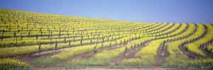 Vineyard on a Hill, Napa Valley, California, USA