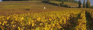 Vineyard on a Landscape, Bourgogne, France