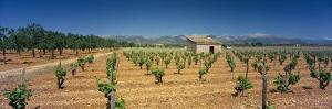 Vineyard on a Landscape, Santa Eugenia, Majorca, Spain