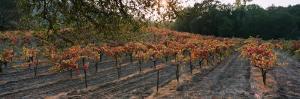 Vineyard on a Landscape, Sonoma County, California, USA