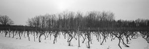 Vineyard on a Landscape