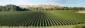 Vineyard seen from Breckenridge Lodge, North Island, New Zealand