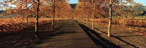 Vineyards Along a Road, Beaulieu Vineyard, Napa Valley, California, USA
