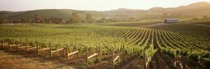 Vineyards, Carneros District, Napa Valley, California, USA