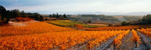 Vineyards in the Late Afternoon Autumn Light, Provence-Alpes-Cote D'Azur, France