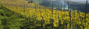 Vineyards, Peidmont, Italy
