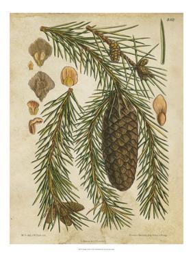 Vintage Conifers I
