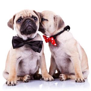 Lady Mops Puppy Whispering Something Or Kissing Its Gentleman Partner While Seated by Viorel Sima
