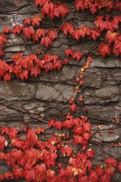 Virginia Creeper (Parthenocissus Quinquefolia) on Stone Wall. UK, Europe