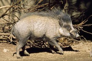 Visayan Warty Pig Male