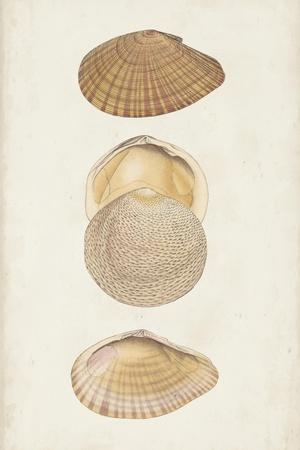 Antiquarian Shell Study I
