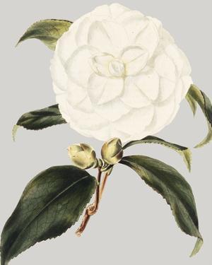 Camellia Japonica I by Vision Studio