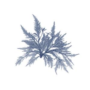 Navy Seaweed V by Vision Studio