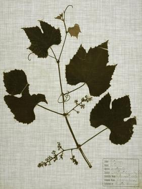 Pressed Leaves on Linen III by Vision Studio