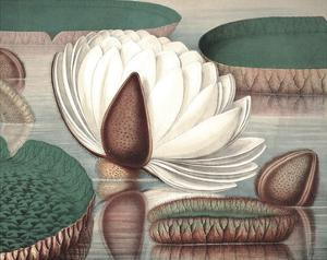 Vintage Water Lily I by Vision Studio