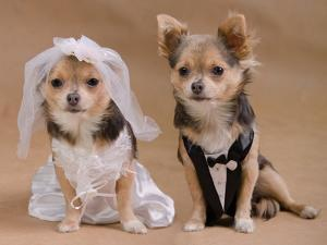 A Male And A Female Chihuahua Dressed As A Bride And Groom, Isolated by vitalytitov