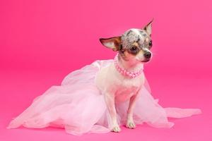 Adorable Chihuahua Dressed Like Ballerina Dancer by vitalytitov