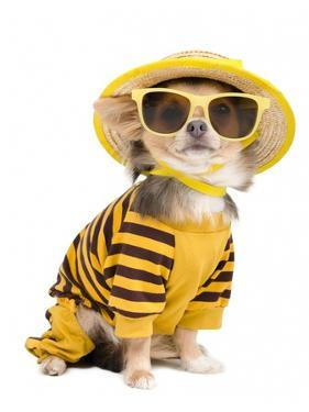 Chihuahua Dressed With T-Shirt, Straw Hat And Sun Glasses by vitalytitov